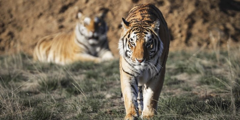 Feds seize almost 70 big cats from 'Tiger King' zoo