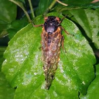 Partly cloudy with a chance of cicada pee
