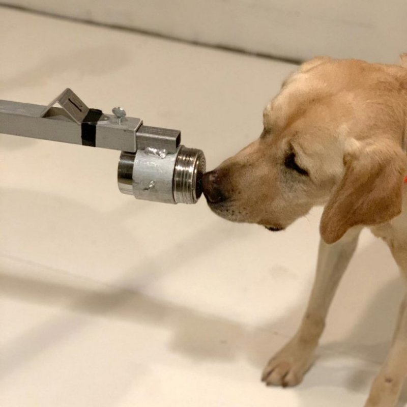 Dogs Can Sniff Out Coronavirus – With Impressive Accuracy