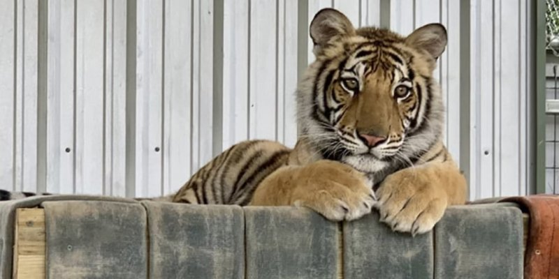 Pet tiger seen on the loose in Houston moved to sanctuary