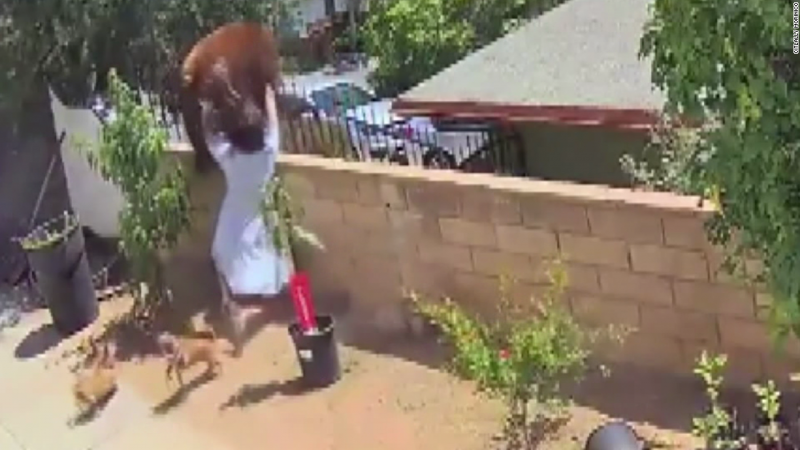 A California teen pushed a bear off her backyard wall to protect family's dogs - CNN