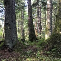 Biden moves to reverse Trump opening of Alaska forest to logging
