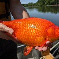 People dumped their goldfish into lakes. Now the pets are football-sized and taking over