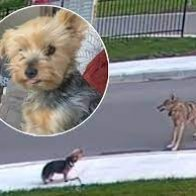 Never underestimate the power of a small dog!