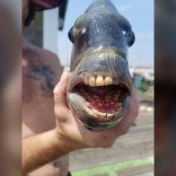 Fish with 'human teeth' caught in North Carolina