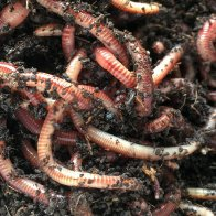 Invasive earthworms are remaking our forests, and climate scientists are worried