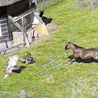 Goat And Rooster Save The Day When Their Friend Is Attacked By A Hawk