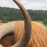 Hamish the Highland Bull Study