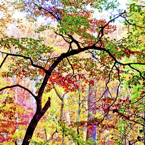 Dogwood Tree in Autumn, Montgomery County, Pennsylvania