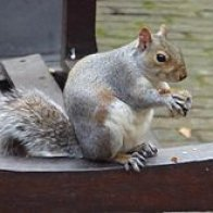 Eastern_Grey_Squirrel_in_Bunhill_Fields