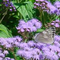 White Butterfly on Mistflower