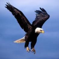 flying eagel pics