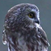 Rocky the owl back in the wild after Rockefeller Christmas tree rescue in New York