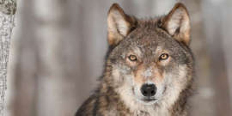Wolf Symbolism: The Spiritual Meaning Of Seeing Wolves