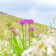 Sea of wild leek flowers in Guizhou enchants visitors