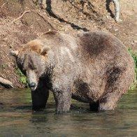 Fat Bear Week 2021 crowns its winner   CNN Travel