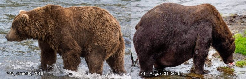 America's fattest bear is about to be crowned