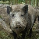 How to Catch Wild Pigs