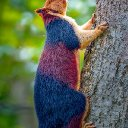 Fifty shades of grey squirrel: Multi-coloured variety of the common rodent leaps from branch to branch as it looks for food in India