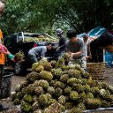 Decades ago, he stole a tree branch. Now he is the Durian King