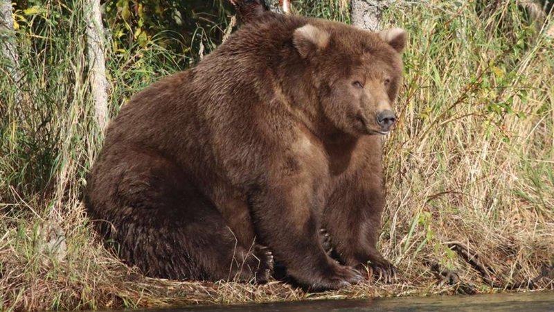 Fat Bear Week Tournament Getting Tense As We Enter The Quarter Finals