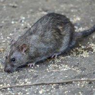 Ravenous rats await restaurant-goers after 2 months of food deprivation, CDC warns