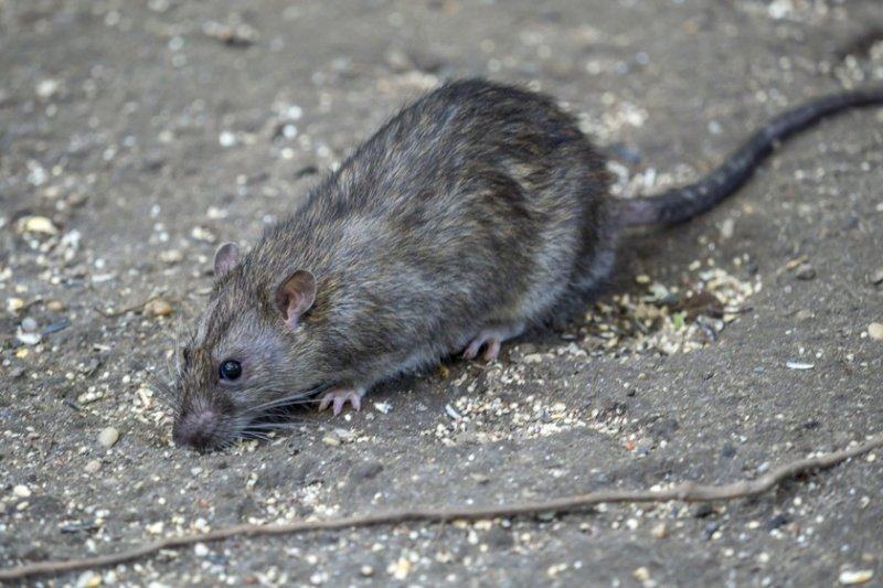 Ravenous rats await restaurant-goers after 2 months of food deprivation, CDC warns