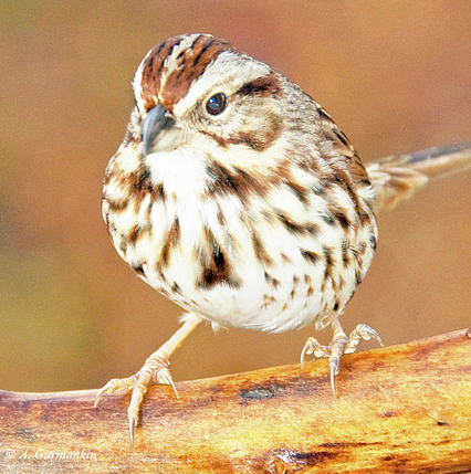 4-song-sparrow-on-tree-branch-a-gurmankin.jpg