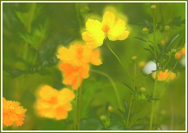 1cosmosflowersinasummermeadowagurmankin.jpg
