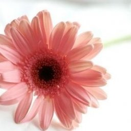 Pinkcap